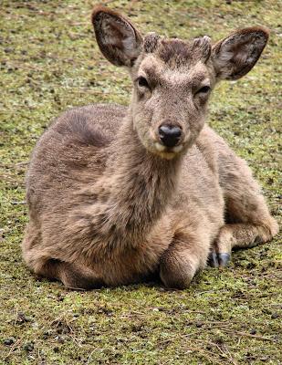 Miyajima genki deer