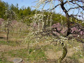 Plum Blossom, Nagoya Agricultural Center