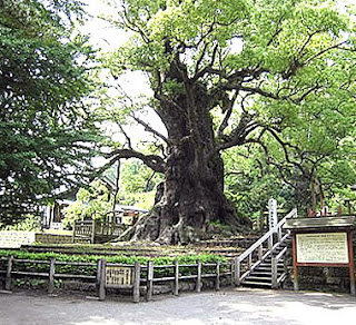 Kamo no Okusu - Japan's biggest known tree