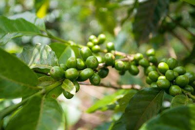 Coffee beans, Bolaven Plateau