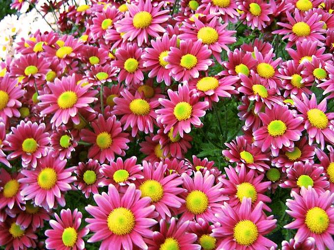 Beautiful Colorful Flowers Background Colorful Pictures Of Colorful Flowers