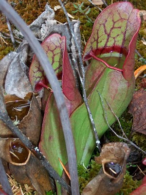 Northern Ontario pitcher plant