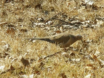 Mourning dove, March 29, Nolalu, ON