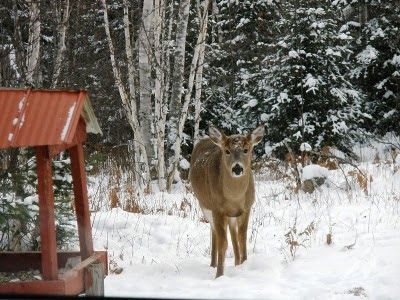 buck whitetail head to bird feeder