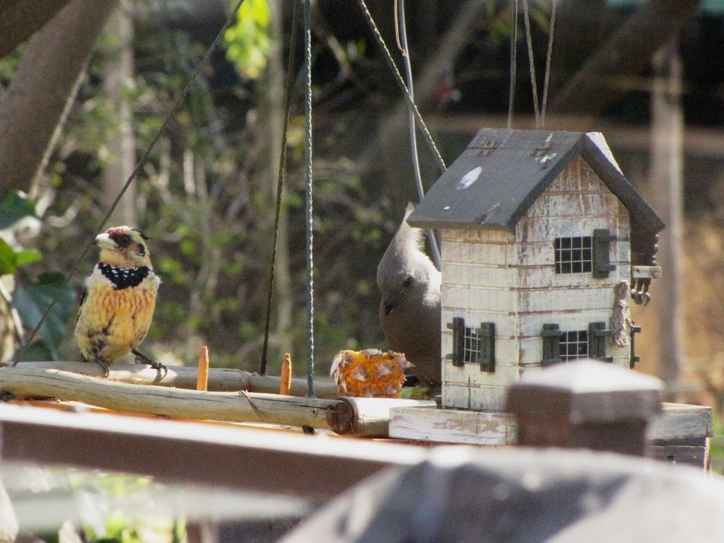 Rivalry on the Birdfeeder and Dyeing... - Natural Suburbia