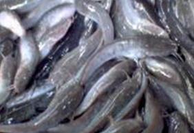 Dijual Ikan Lele Rp10.500 per kg (isi 8 atau 9 ekor lele)