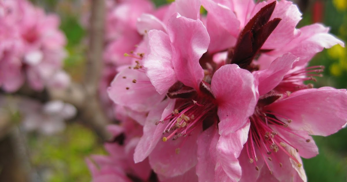 Victoria Gardens: Bonfire Patio Peach Tree (Prunus Persica Durazo U0027Bonfire  Patiou0027)