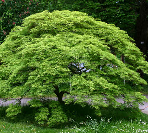 'Viridis' Japanese Maple is a