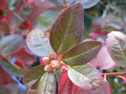 Fab, Fab, Fall Foliage: Rhododendron 'P.J.M.'