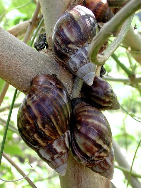 ademin-blog.blogspot.com - Edan; Harga 1 Kg Bekicot = 1 Juta Rupiah
