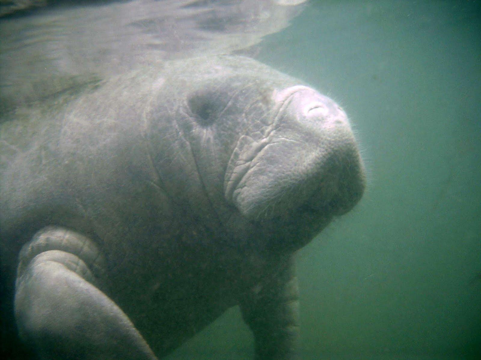 Tennessee aquarium blog manatees struggle with cold temps Manatee aquarium