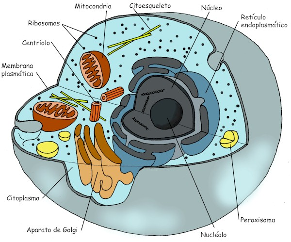 animal cell diagram grade 8. cell diagram grade 8.