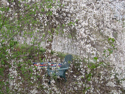 cherry tree. weeping cherry tree pictures.