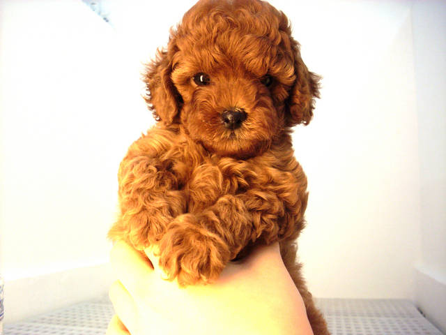 Gallery For > Red Teacup Poodles