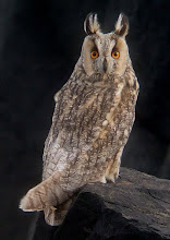 Long-eared Owl, Newton Point, November 2008