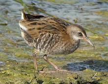 Water Rail, Newton Pool, July 2009
