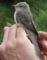 Barred Warbler, Newton Pool, September 2010