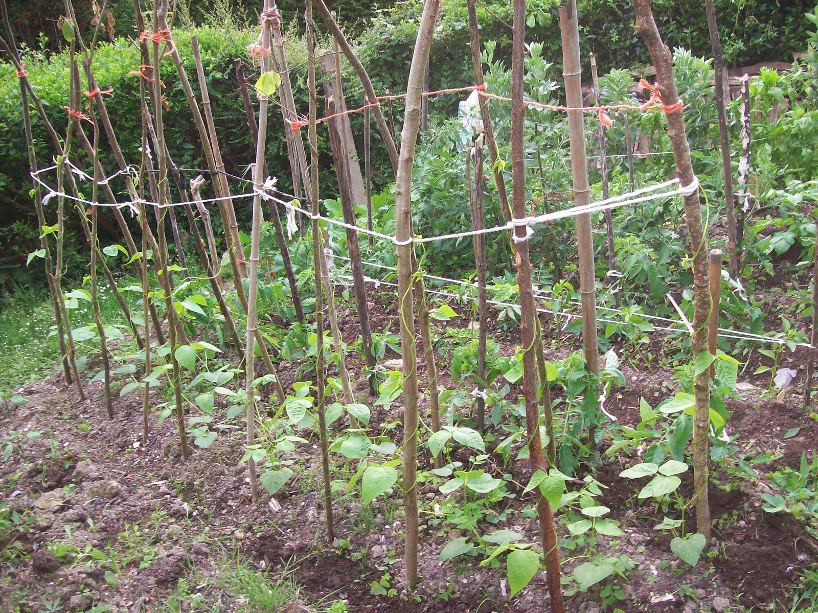 Collacios de la guerta judias verdes - Cultivar judias verdes ...