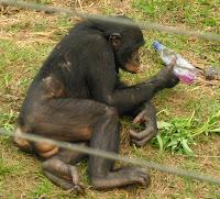 Je t'aime, Bonobo