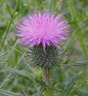 Thistle: a symbol of 'Scottishness'
