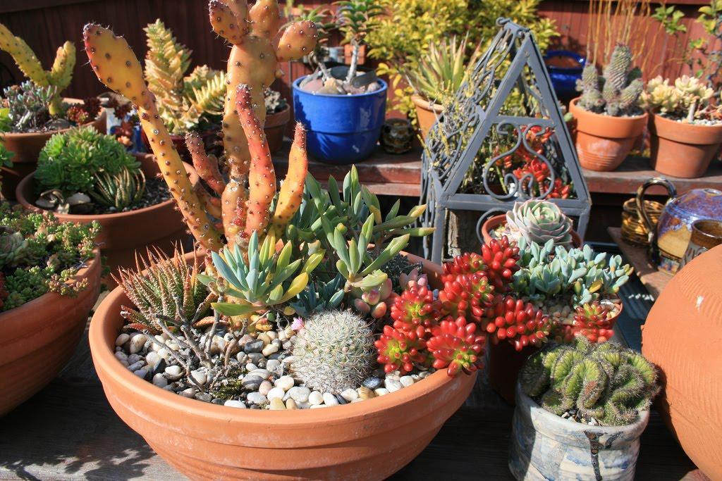 Piante grasse cactus e succulente l 39 angolo colorato for Vasi piante grasse