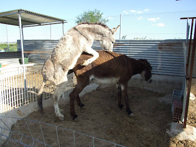 400 x 300 · 48 kB · jpeg, El burro (equus asinus)