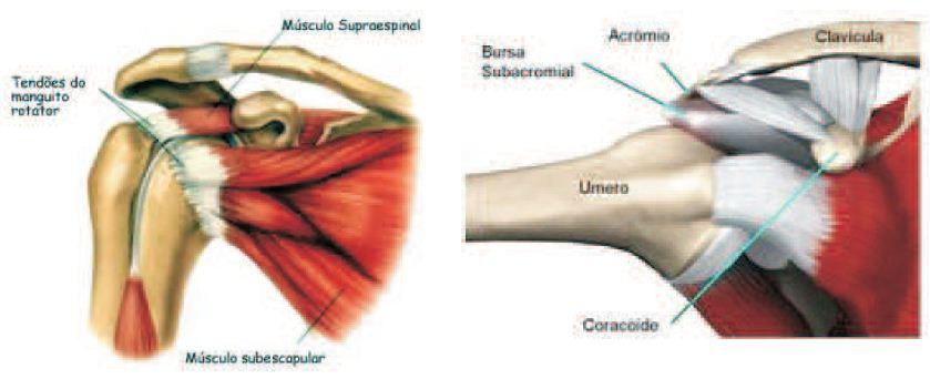 http://4.bp.blogspot.com/_Ua89NM9stEQ/TQbJGOaf6mI/AAAAAAAAALo/TiOUTxQihQ8/s1600/ombro%2Banatomia.JPG