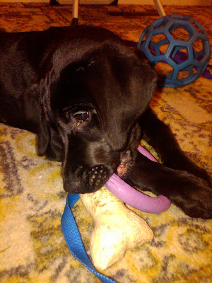 Dagan chewing on his toys - a bone and a tug ring with his foot through the middle