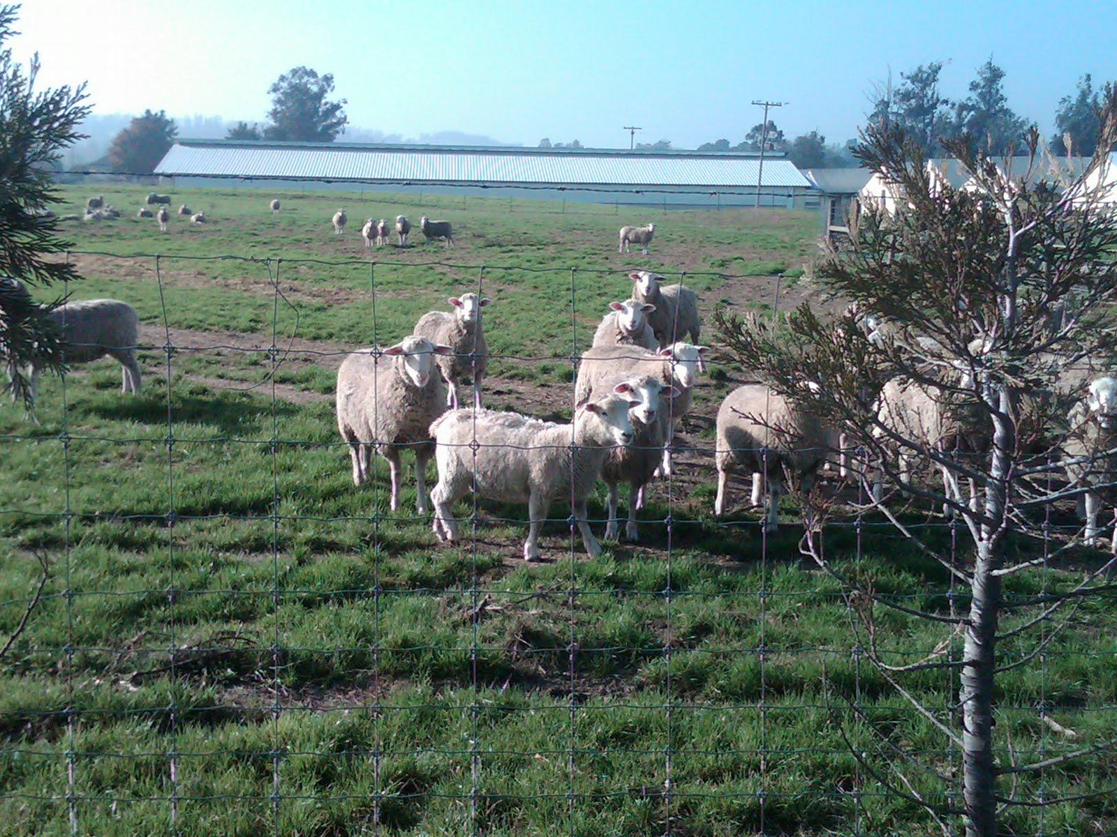 [sheepy+looking+2.jpg]