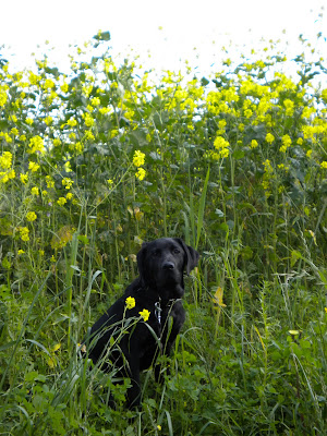 Dagan in a sea of green - the yellow flowers all about 18 inches over his head