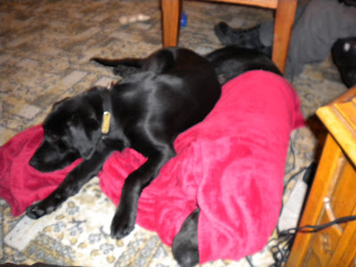 Dagan on the blanket napping next to Nassau under the blanket