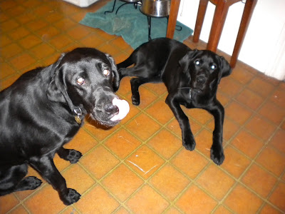 The boys waiting by the food bowls - Nassau sitting up front, licking his lips and Dagan in a down in the back ground