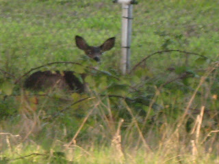 Another deer resting in the blackberry bushes