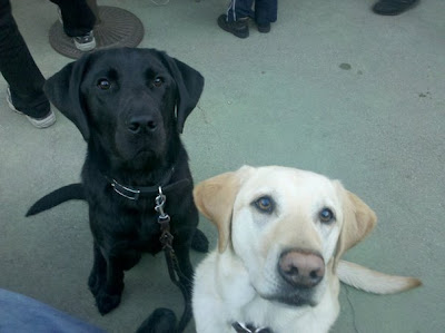 Rebel and Dagan in sits, alert ears and intense eyes looking at the camera
