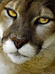 The Kougar