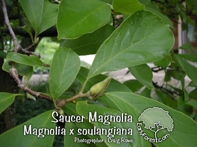 Saucer Magnolia Leaves