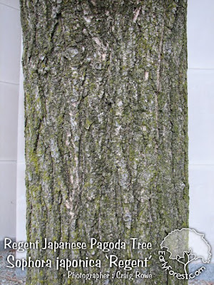 Regent Japanese Pagoda Tree Bark