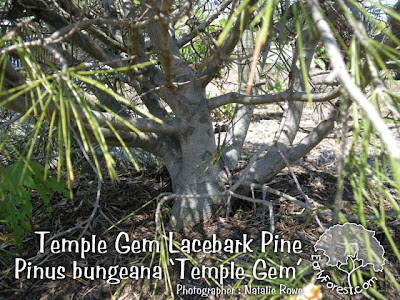 Temple Gem Lacebark Pine Bark