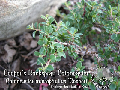 Cooper's Rockspray Cotoneaster Leaves