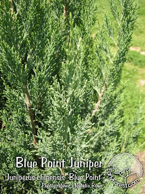 Blue Point Juniper Foliage