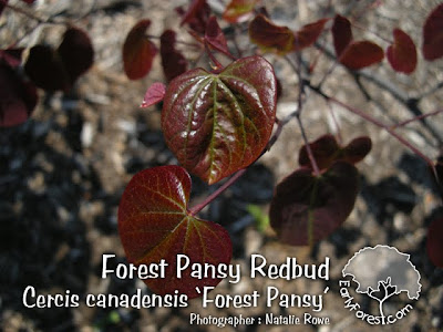 Cercis canadensis 'Forest Pansy' Leaves