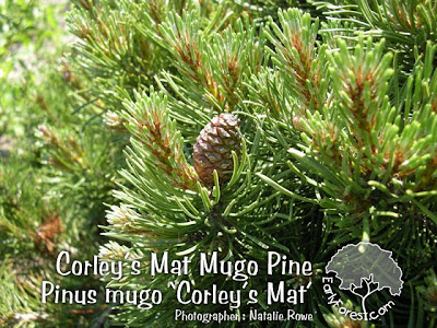 Corley's Mat Mugo Pine Cone and Needles