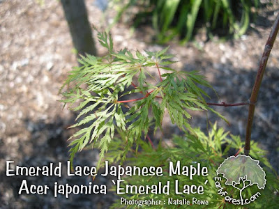 Emerald Lace Japanese Maple Leaves