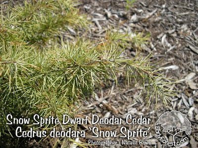 Snow Sprite Dwarf Deodar Cedar Needles