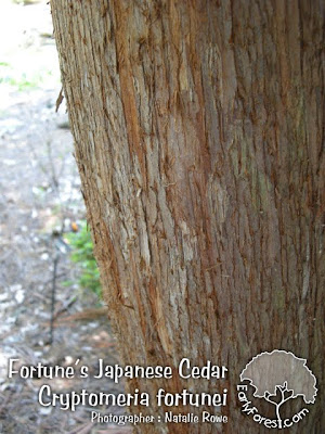 Fortune's Japanese Cedar Bark