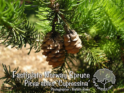 Fastigiate Norway Spruce Cones & Needles