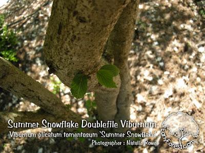 Summer Snowflake Doublefile Viburnum Bark