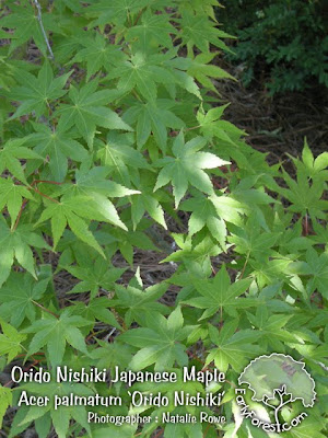 Orido Nishiki Japanese Maple Leaves