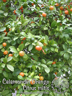 Calamondin Orange Fruit