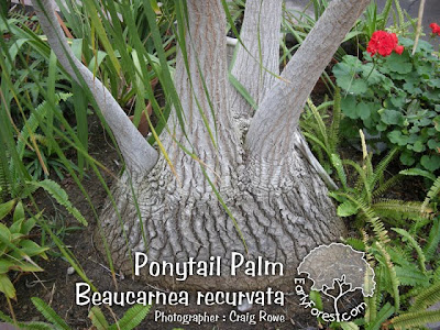Ponytail Palm Bark